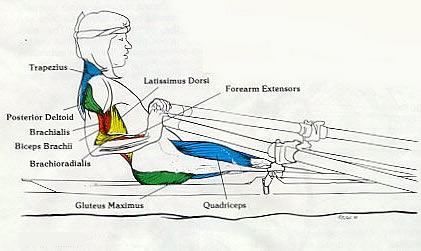 Rowing Machine Muscles Used - Finish Phase