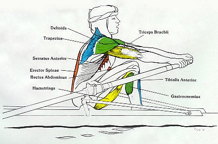 Rowing Machine Muscles Used - Catch Phase